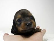 チェルシーとジムの子犬 シェーデットレット女の子① お写真初登場です♪