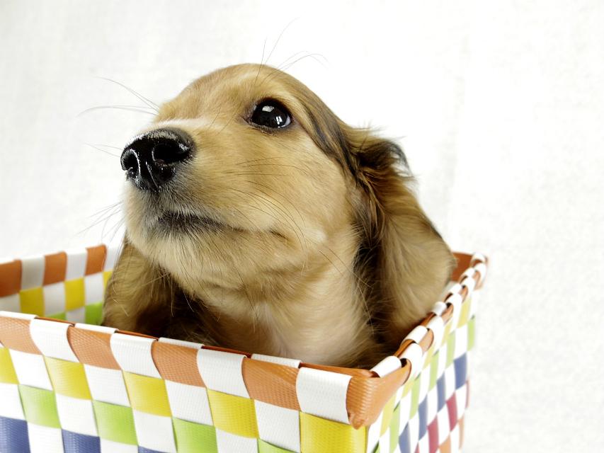カニンヘンダックス 子犬 シェーデットレット男の子