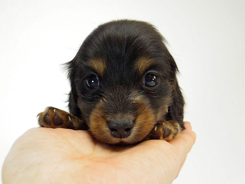 ダックスフンド チェルシー & AQUARIONの子犬 ブラックタン 男の子