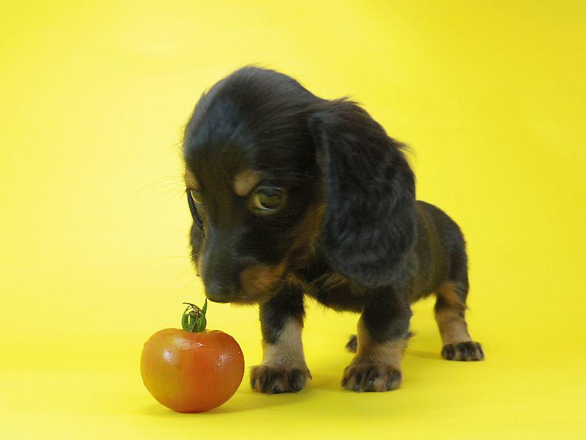 ダックスフンド ルヒィ & ジムダンディの子犬 ブラタン 女の子①
