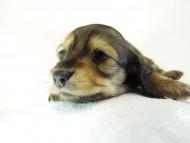 ティアラ & オスカルの子犬 シェーデットクリーム 女の子 お写真初登場