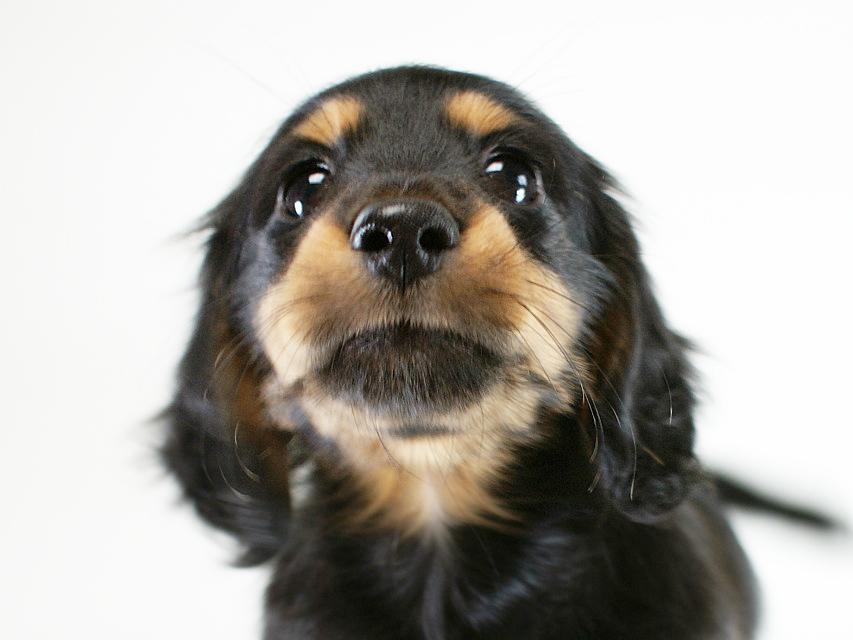カニヘン 子犬 ブラックタン男の子