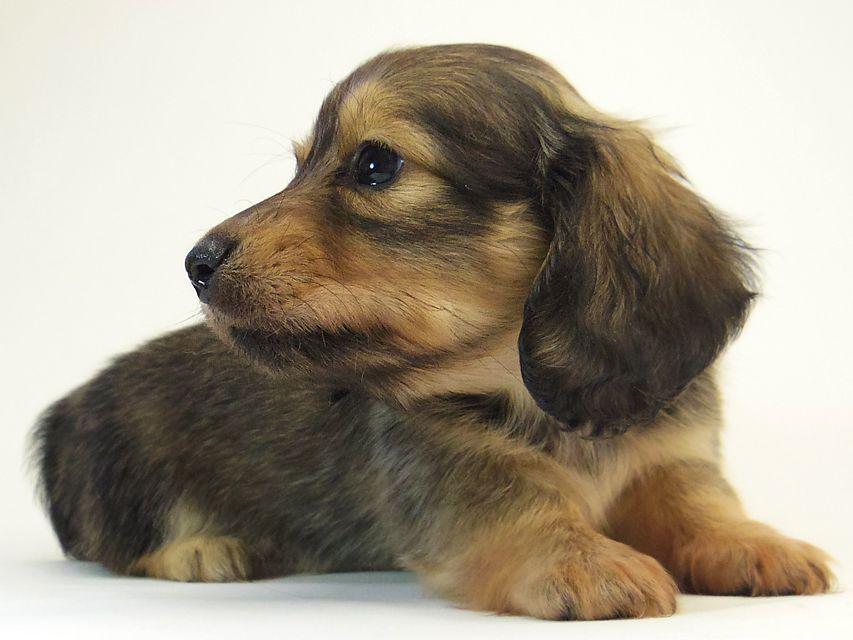 ミニチュアダックス シャーディー & オスカルの子犬