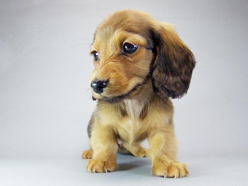 カニンヘン ダックスフンド ソルト & MONKEY D. LUFFYの子犬 シェーデットレッド 男の子