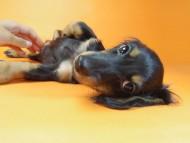 ルヒィ & ジムダンディの子犬 ブラタン 女の子②