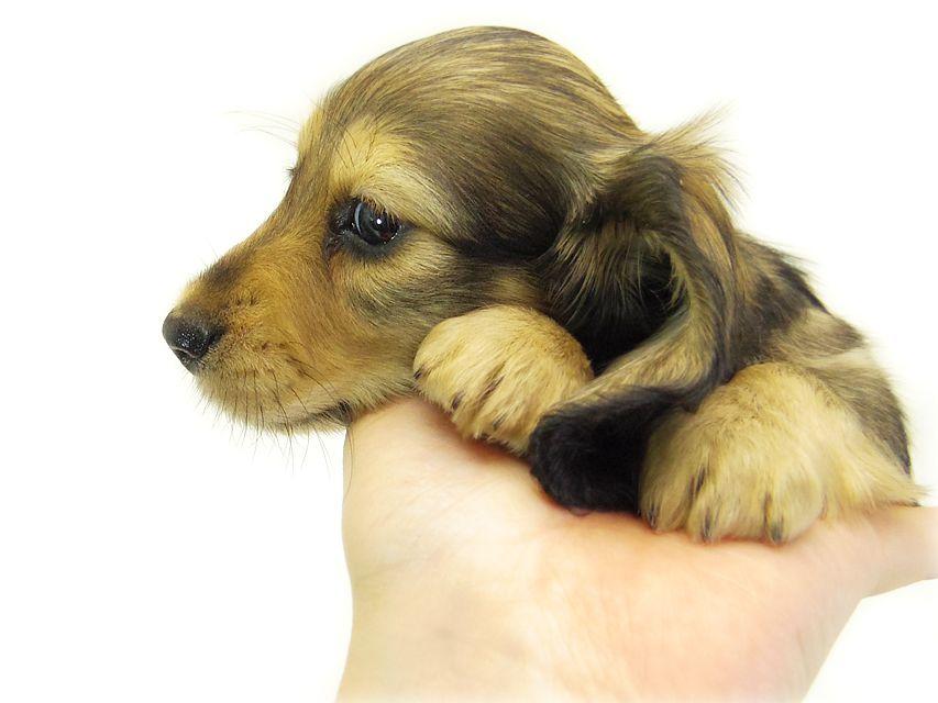 ティアラ & オスカルの子犬 シェーデットクリーム 女の子