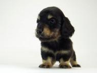 チェルシー & AQUARIONの子犬  ブラッククリーム 男の子