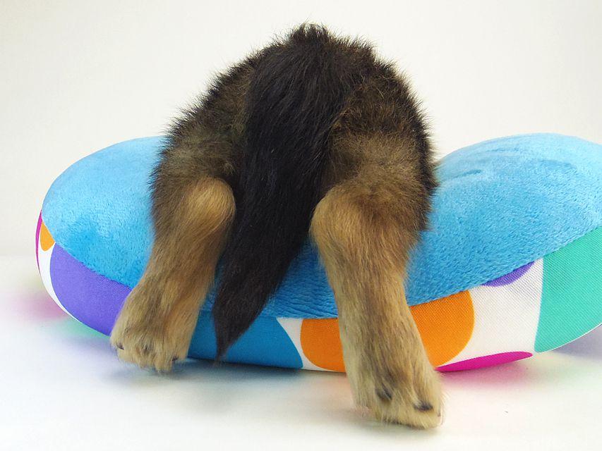 ミニチュアダックスのアンギュレーション 子犬