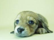 SHELLY.mi & オスカルの子犬 シェーデットクリーム 男の子 ②