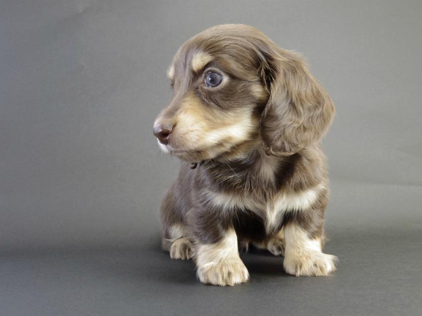 カニヘン 子犬 チョコクリ女の子