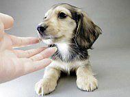 楓とオスカルの子犬 シェーデットクリーム男の子