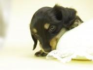 ティアラ & オスカルの子犬 ブラッククリーム 男の子