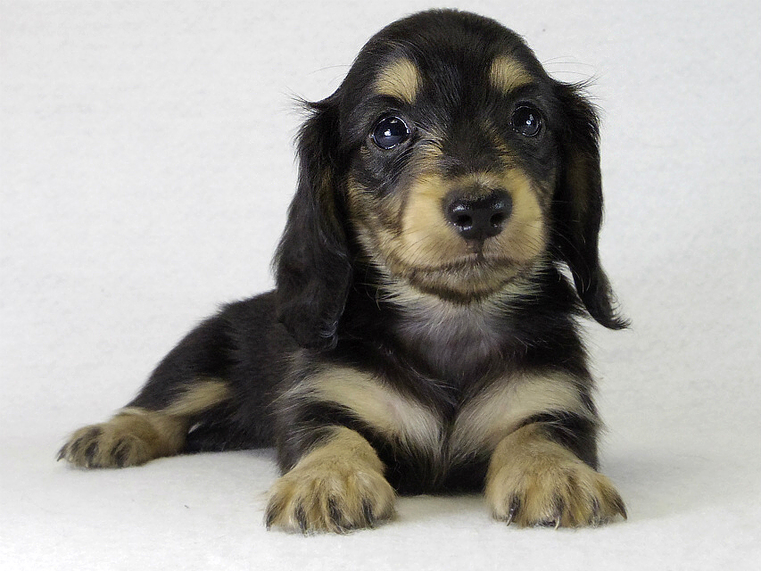 カニンヘン 子犬 ブラクリ男の子