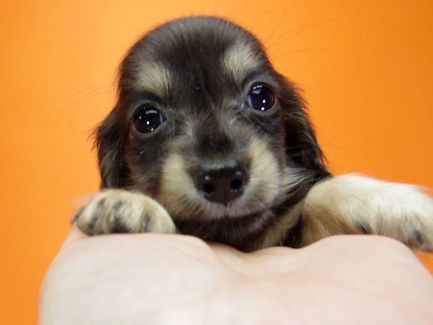 ダックスフンド ハッピーベル & 武蔵の子犬 ブラッククリーム 男の子
