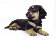 ルル.hb & セブンの子犬 ブラクリ 男の子