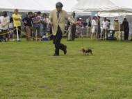 ドッグショー 2013/06/09 大富士愛犬クラブ展 オスカル初挑戦