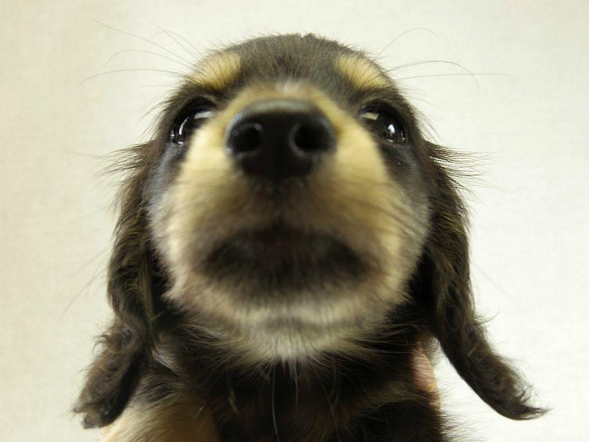カニンヘン ダックスフンド ユジンの子犬 ブラック&クリーム女の子