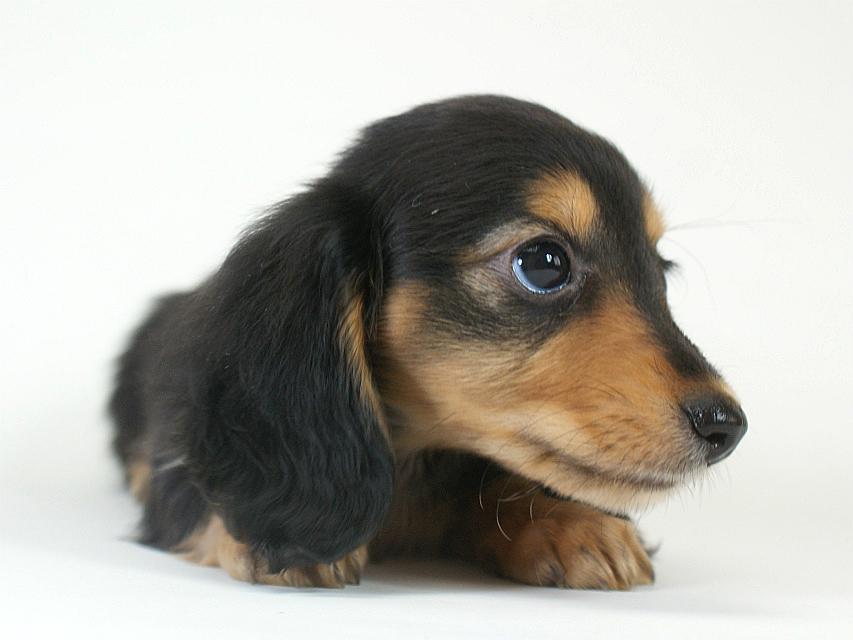 カニヘン 子犬 ブラタン女の子
