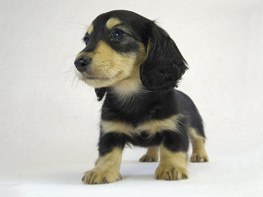 カニヘン 子犬 ブラクリ女の子