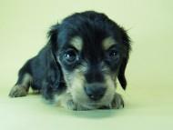 SHELLY.mi & オスカルの子犬 ブラッククリーム 女の子