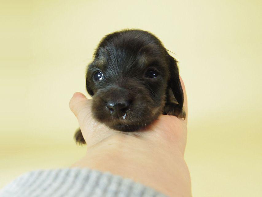 ダックスフンド ソルト & MONKEY D. LUFFYの子犬 ブラッククリーム 男の子