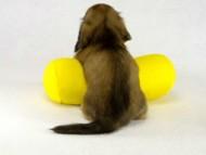 ティノ君(神奈川県相模原市緑区・N様) シェーデットクリーム男の子 カニンヘンダックス・シェリーの子犬