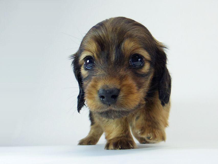 ダックスフンド チェルシー & AQUARIONの子犬 シェーデットレッド 女の子