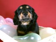 リリィの子犬 ブラタン男の子