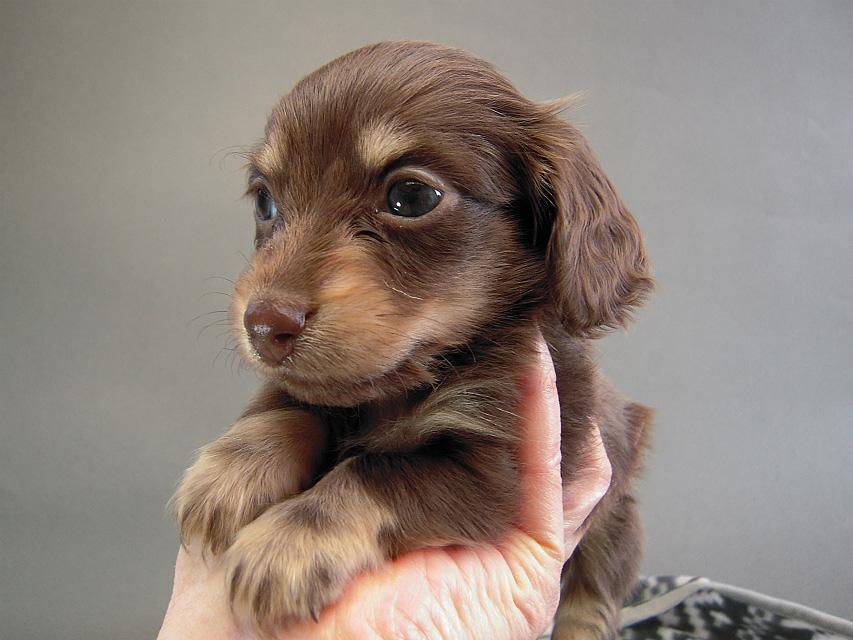 カニヘン子犬 チョコクリ女の子 香川県・T様