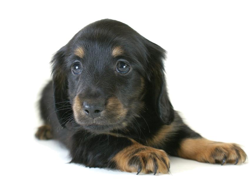 カニヘン 子犬 ブラタン男の子