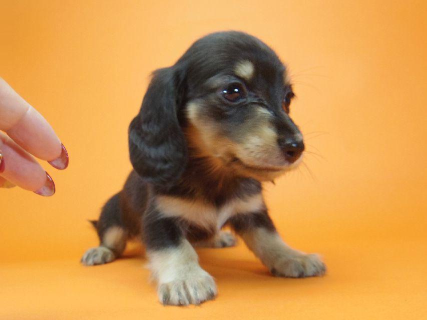 ダックスフンド ハッピーベル & 武蔵の子犬 ブラッククリーム 女の子
