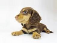 ルル.hb & セブンの子犬 チョコタン 女の子