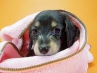 ハッピーベル & 武蔵の子犬 ブラッククリーム 女の子