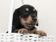 メリア & ダルク君の子犬 ブラッククリーム 女の子