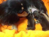 カニンヘンのトリスが8月17日出産しました。シェーデットレッド 男の子1 ブラッククリーム 女の子1