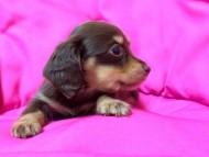 ローラと武蔵の子犬 チョコクリ女の子