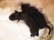 ミニチュアダックスのエイドリアンが出産しました ブラック系男の子、クリーム系男の子