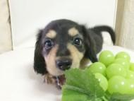 ローラ.mi & アレックスの子犬 ブラッククリーム 男の子