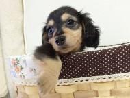 ローラ.mi & アレックスの子犬 ブラッククリーム 女の子②