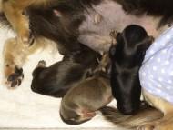 ミニチュアダックスのシャーディーが1/9出産しました。ブラクリ男の子、シェーデットクリーム男の子、シェーデットクリーム女の子
