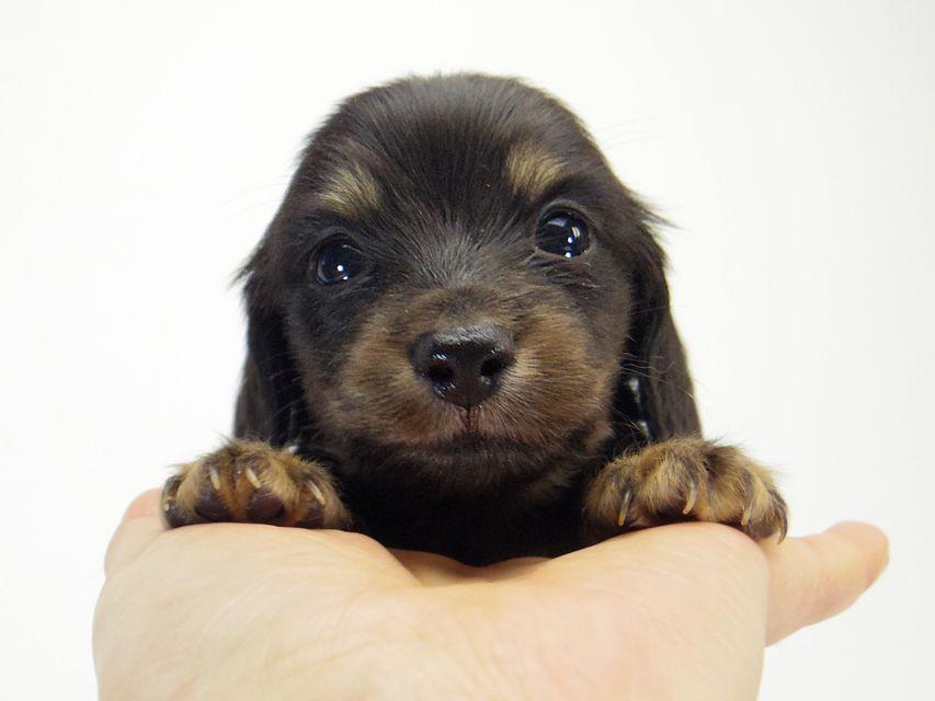 ダックスフンド ソルト & MONKEY D. LUFFYのの子犬 ブラッククリーム 男の子
