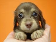 ハッピーベル & 武蔵の子犬 チョコクリーム 女の子