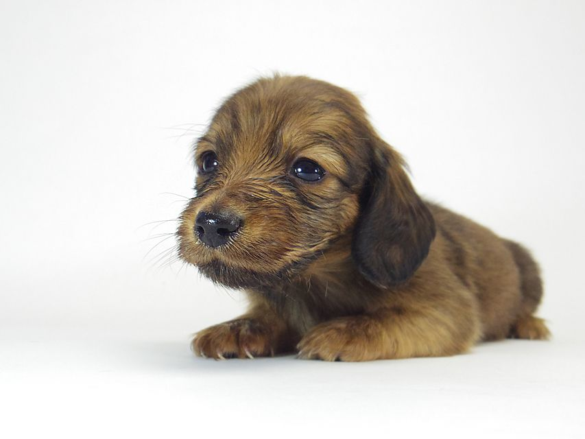 ダックスフンド ソルト & MONKEY D. LUFFYのの子犬 シェーデットレッド 男の子
