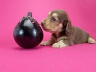 アリス.mi & アサヒの子犬 チョコクリーム 女の子