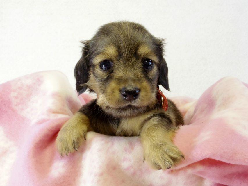 カニンヘンダックス ソルトの子犬 シェーデットクリーム女の子