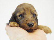 ソルト & MONKEY D. LUFFYの子犬 シェーデットレッド 男の子