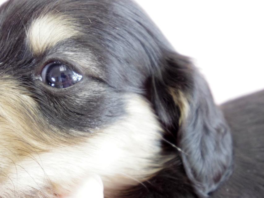 カニヘン 子犬 ブラクリ 女の子