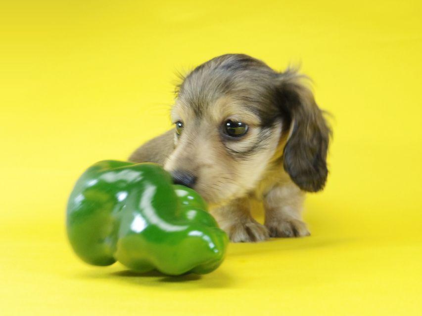 ダックスフンド グリム & オスカルの子犬 シェーデットクリーム 男の子