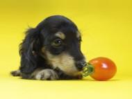 グリム & オスカルの子犬 ブラッククリーム 女の子