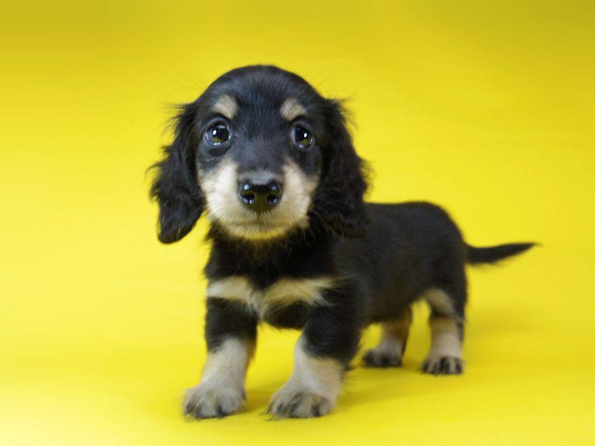 ダックスフンド グリム & オスカルの子犬 ブラッククリーム 女の子